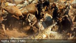 В великом краю Серенгети / The Great Serengeti (2011) HDTV 1080i