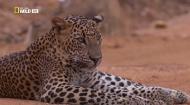 Ночные охотники. Леопарды / Nightstalkers. Leopards (2011) HDTVRip