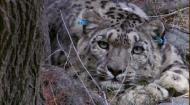 Планета Земля: Снежный Барс - Мифы или реальность / Snow Leopard - Beyond the Myth (2010) Отличное качество